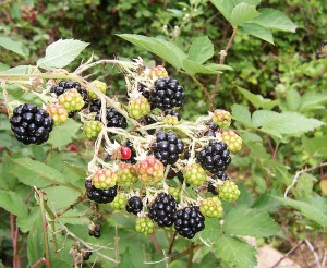 Blackberry_fruits10